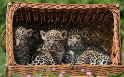 BABY JAGUARS Baby Jaguars Usually Stay With Their Mother Untill They Are  Usually One Years Old. The Baby Jaguars Or Cubs Are Born With Their Eyes  And Ears ...